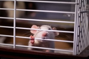 rat-experiment-in-a-cage.