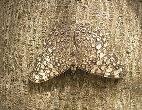 camouflaged moth